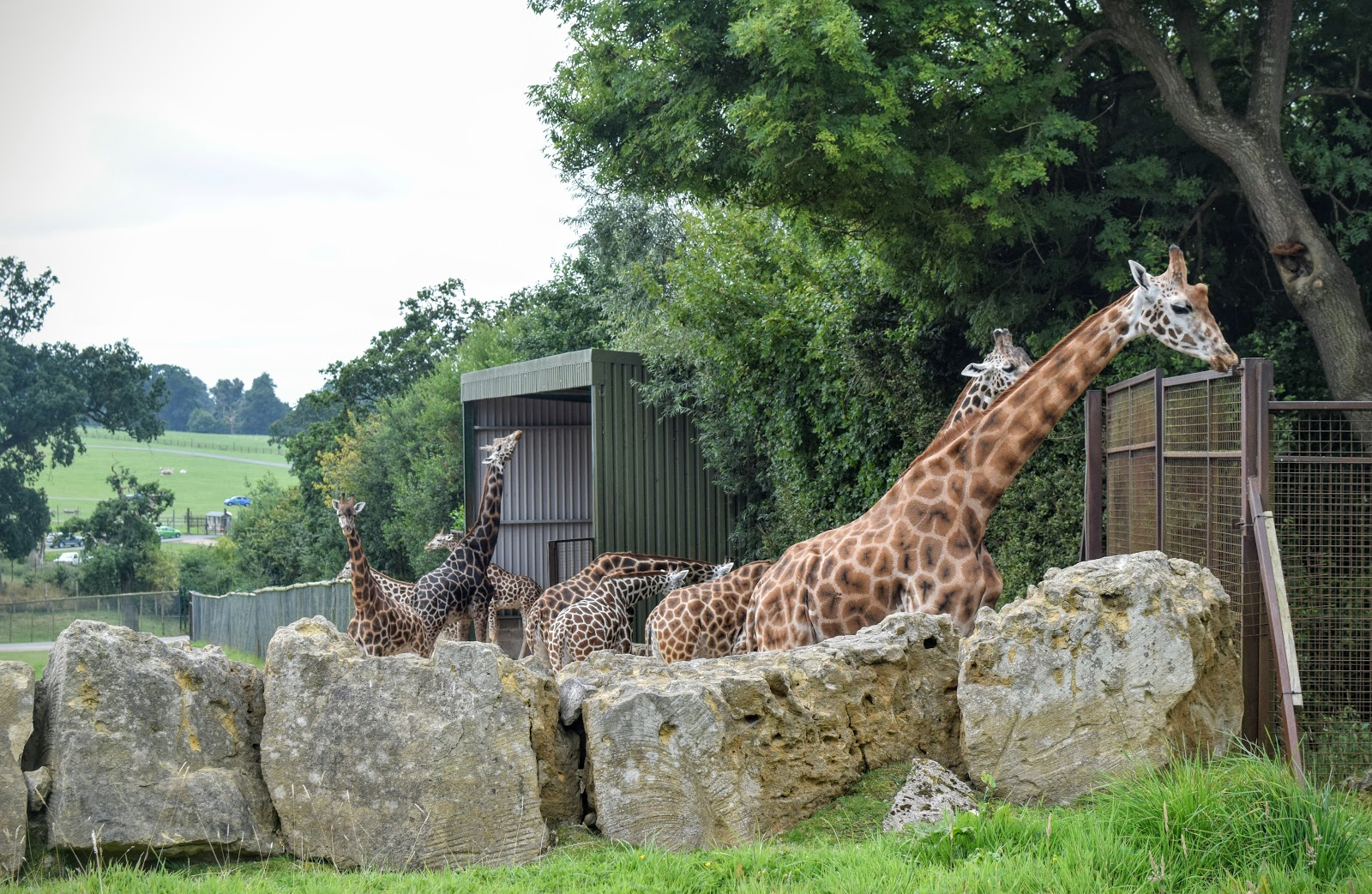 Longleat Safari Park, Days out, family fun, travel, family travel, giraffes, giraffe,