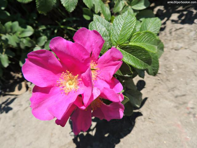 Flora del Fort Williams Park en Cape Elizabeth