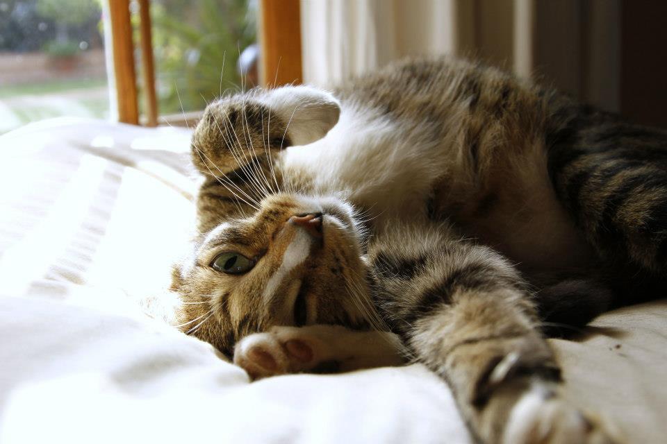 Kucing telentang