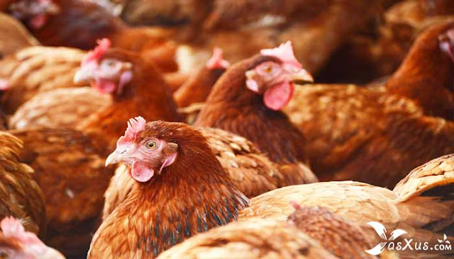 11 Cara Beternak Ayam Petelur Untuk Pemula Agar Cepat Bertelur