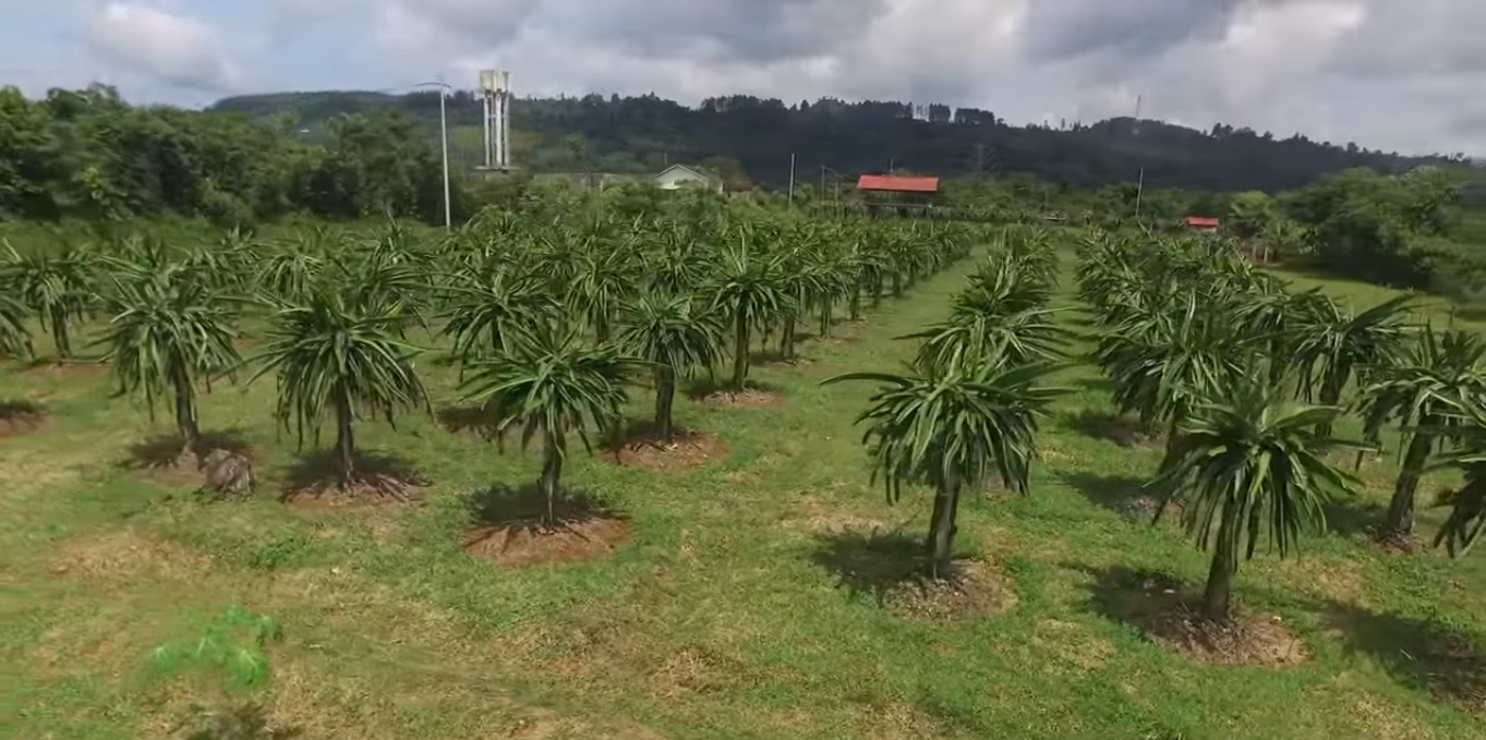 Land Cultivation Dragon Fruit