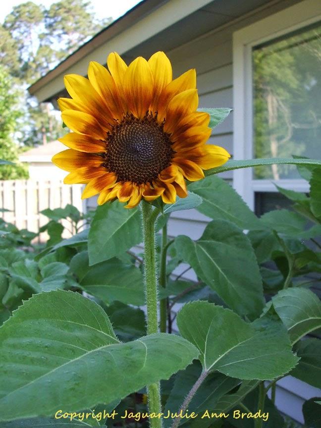 First Autumn Beauty Sunflower Blossom of 2014