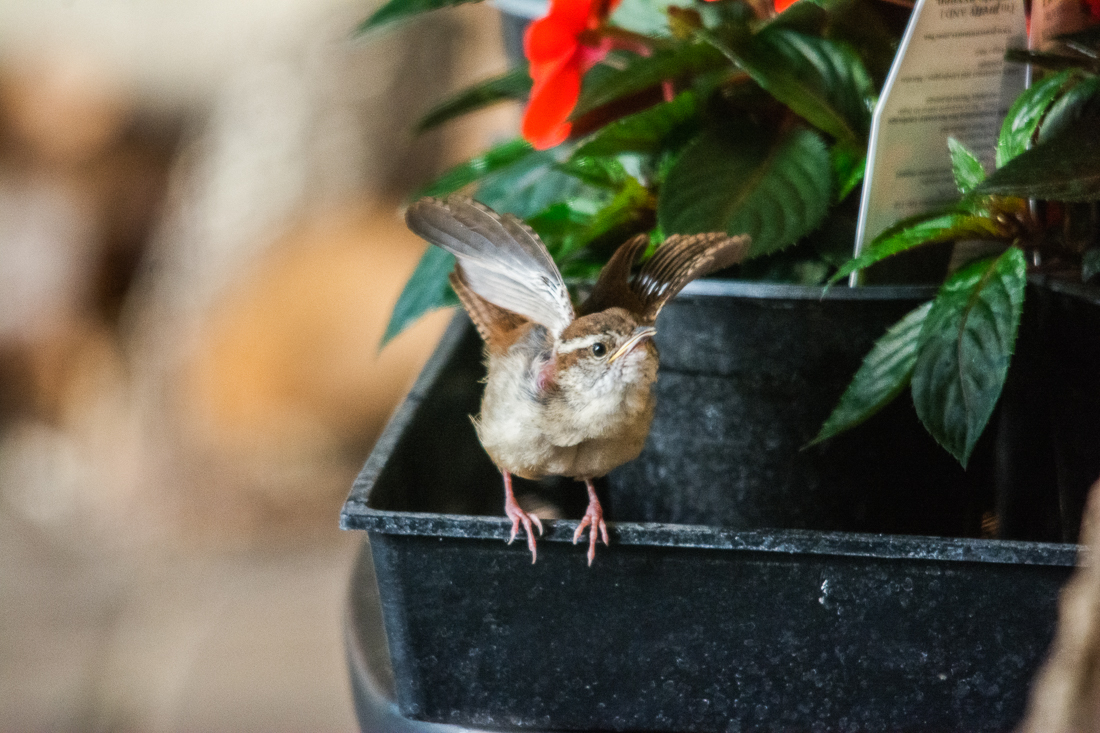 Carolina Wren fledgling exercising wings