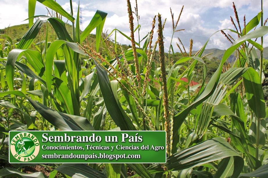 flor macho del maíz