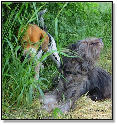 Hunde fressen Gras