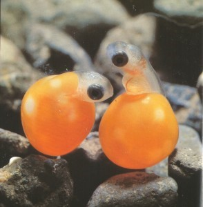 Bright orange eggs with small translucent fish sticking their heads out.