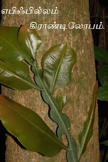 Epiphyllum grandilobum