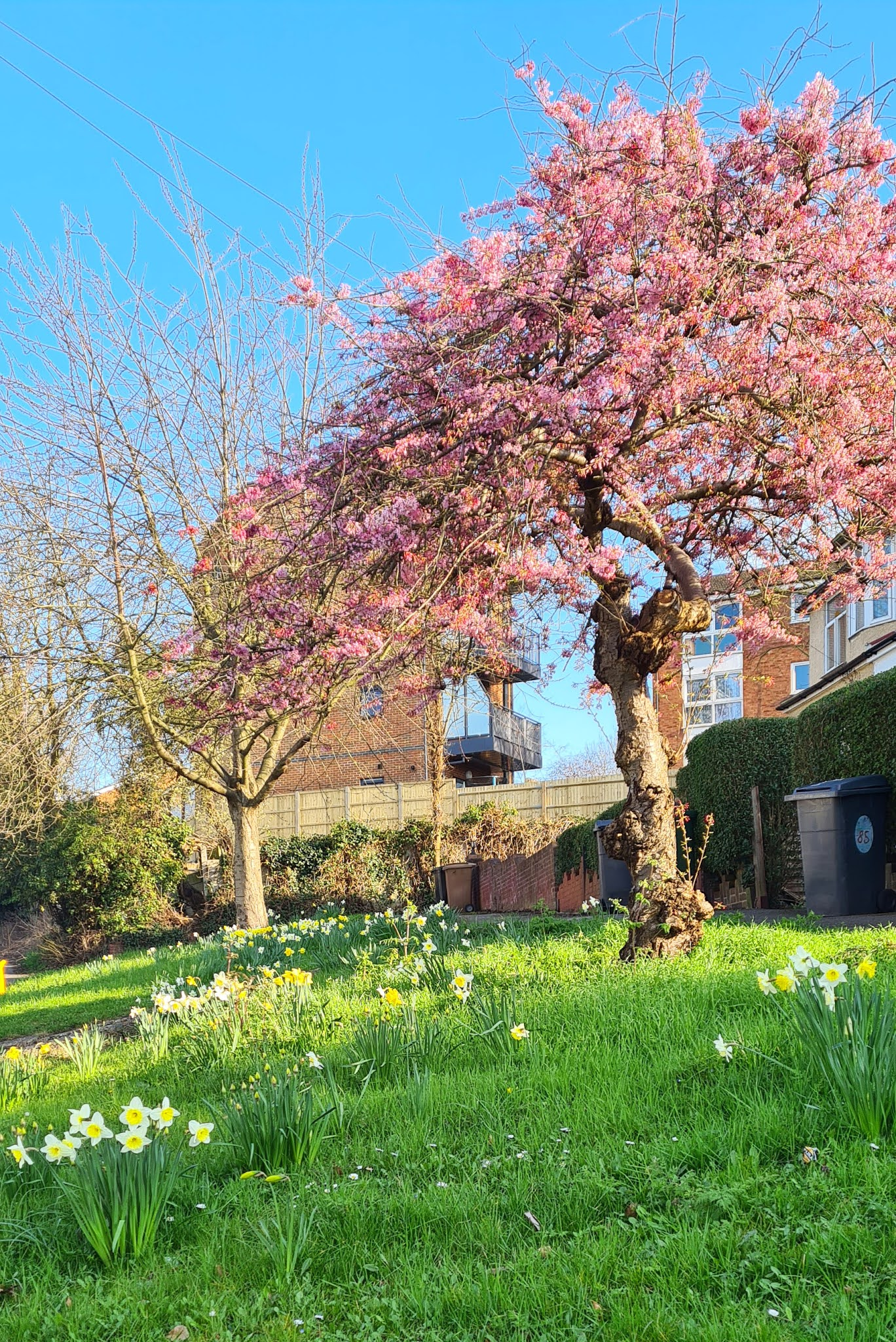 Daffodils and a cherry tree in blossom on the verge of a main road in East London: Is This Mutton