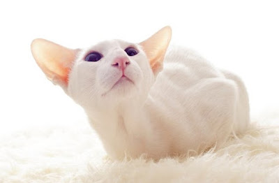 Jenis Kucing Foreign White