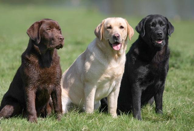 ladrador puppy price in bareilly, ladrador puppy sale bareilly, ladrador puppy Purchase bareilly, ladrador dog purchase bareilly, labrador dog sale bareilly