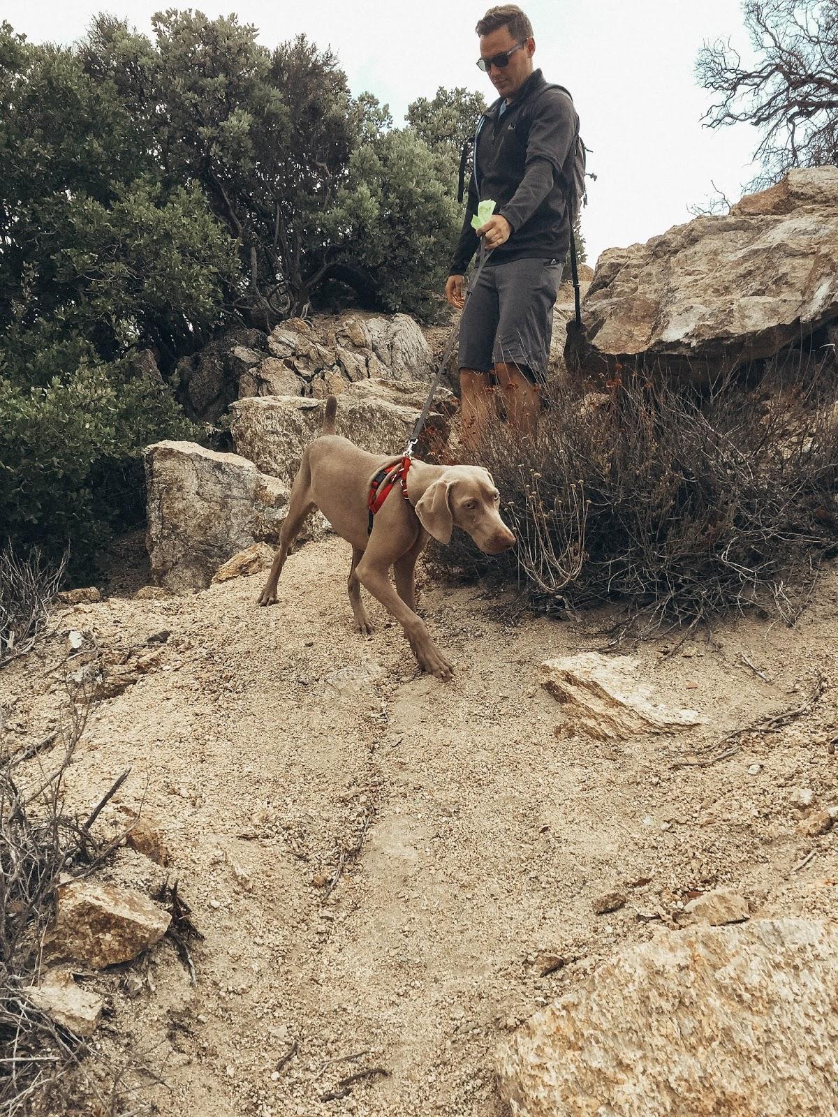 Weimaraner Hiking