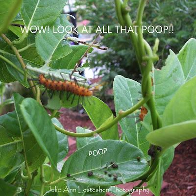 Oleander Caterpillar Poop From Eating My Yellow Mandevilla