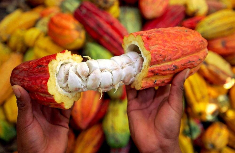 Nouvelle Hausse Prix du kilogramme du Cacao au Cameroun