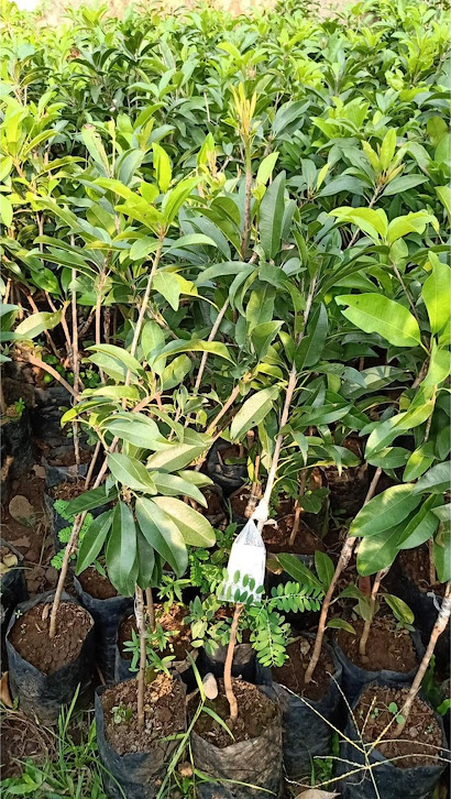 Bibit tanaman sawo jumbo hasil stek cepat berbuah Ternate