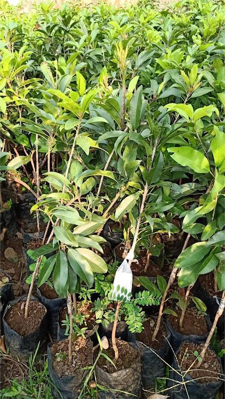 Bibit tanaman sawo jumbo hasil stek cepat berbuah Surakarta