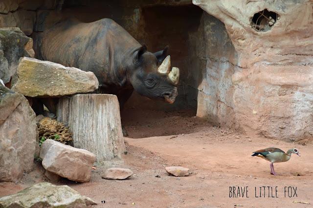 Nashörner Erlebnis-Zoo Hannover
