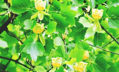 poplar-tree-identification
