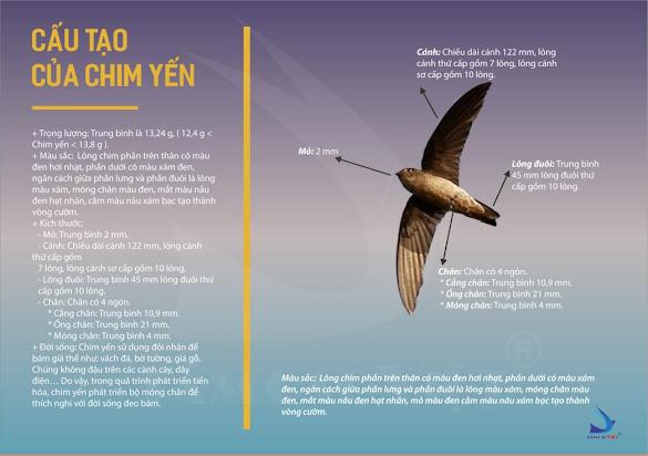 Hình 1: Đặc điểm cấu tạo của chim yến hàng.
