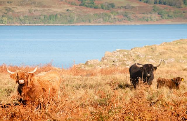 Mull coos, Scotland