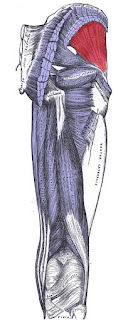 gluteus minimus muscle, action, muscle picture