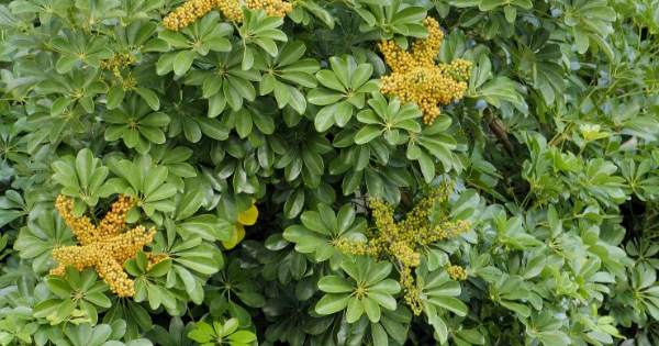 Walisongo (Schefflera arboricola)