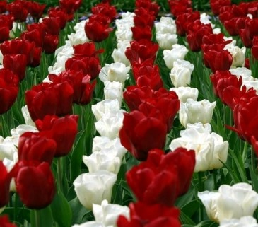 أنواع الورد الوانها وروائحها