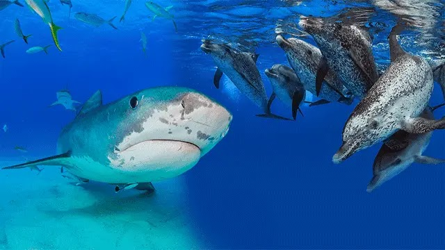 لماذا يخاف القرش من الدولفين