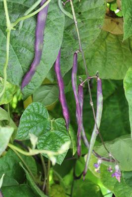 Purple pole beans.