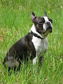 Boston Terrier dog in grass