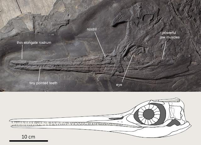 Slender-snouted Besanosaurus was an 8 m long marine snapper
