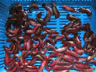 Cara Membuat Pakan Bagi Burayak Ikan Cupang Cara Membuat Pakan Bagi Burayak Ikan Cupang