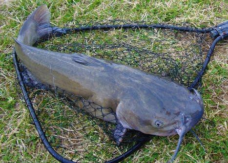 Inilah 8 Umpan Ampuh Mancing Ikan Lele Di Sungai Keruh Malam Hari Topik Wawasan