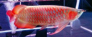 arwana super red