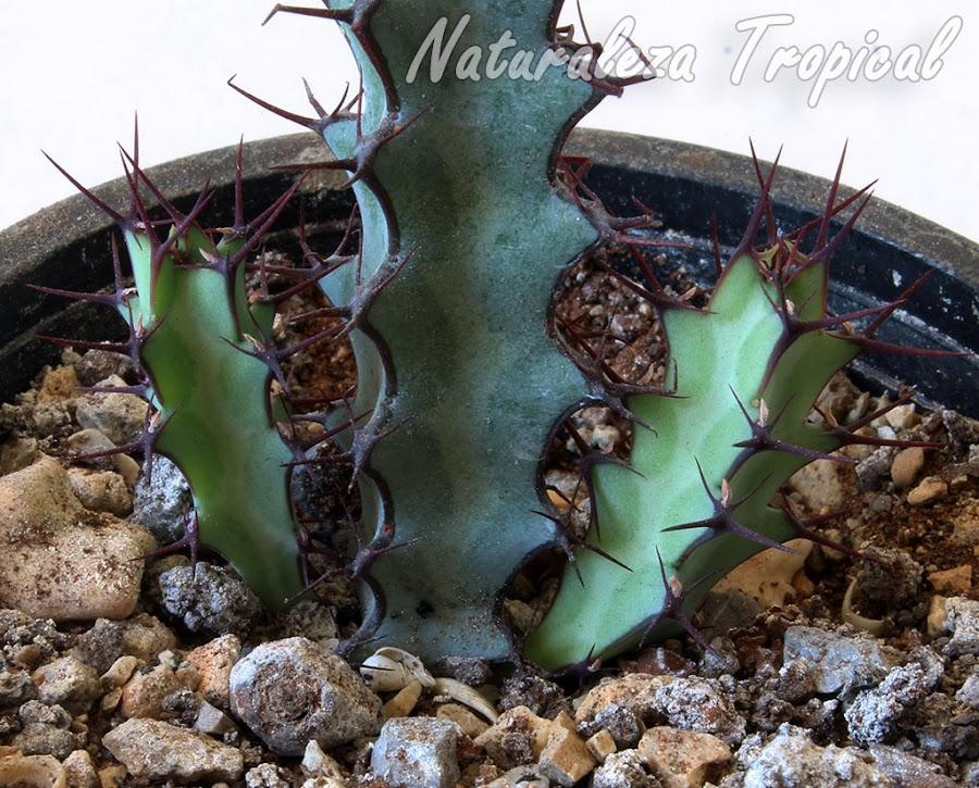 Brotes basales en la planta suculenta Euphorbia greenwayi