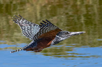 Giant Kingfisher - Birds In Flight Photography Cape Town: Canon EOS 7D Mark II Gallery