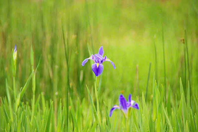 iris flowers, field,buds,stems