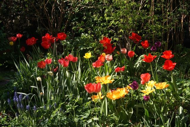 Darwin-Hybrid-Tulpen Red und Pink Impression sowie Golden Apeldoorn
