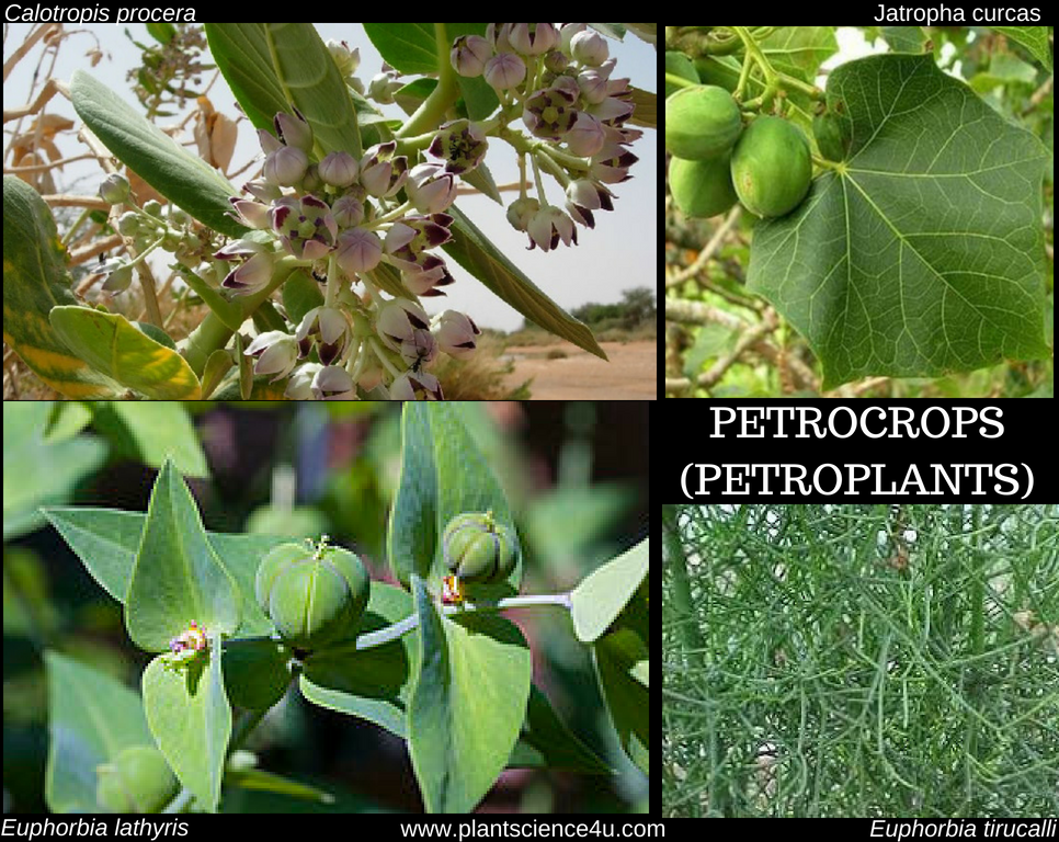 What are Petrocrops? Example of Petroplants