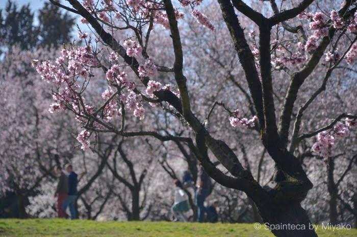 Quinta de los Molinos マドリードの公園で咲く満開のアーモンドの花