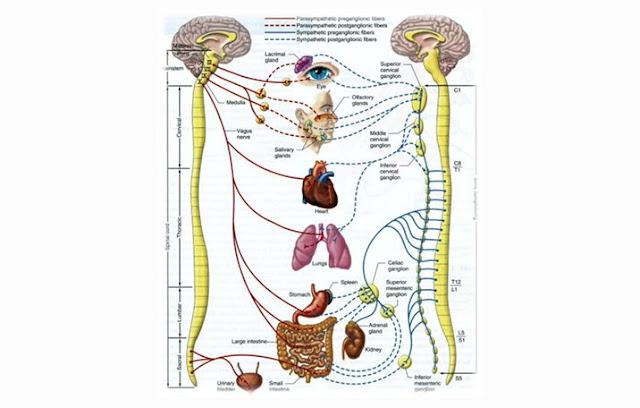 Pengertian Saraf Spinal, Fungsi Saraf Spinal