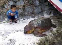 側溝に迷い込んだウミガメを救助!