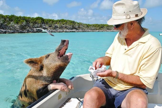 Staniel Cay, el lugar de las Bahamas donde los cerditos nadan felices
