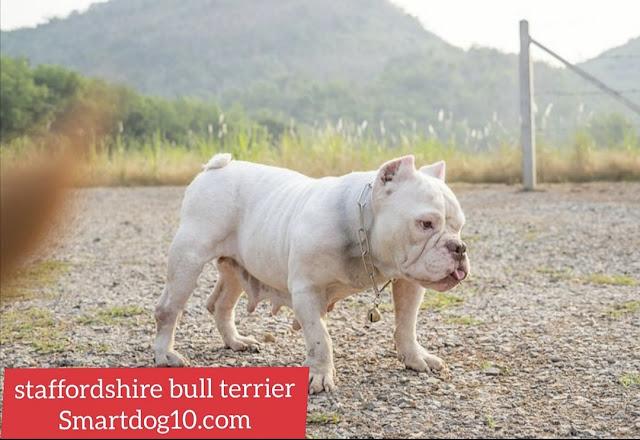 Training Staffordshire Bull Terrier