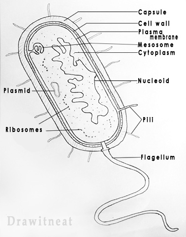 Prokaryotic Cell Labelled on Unlabeled Chromosome Diagram