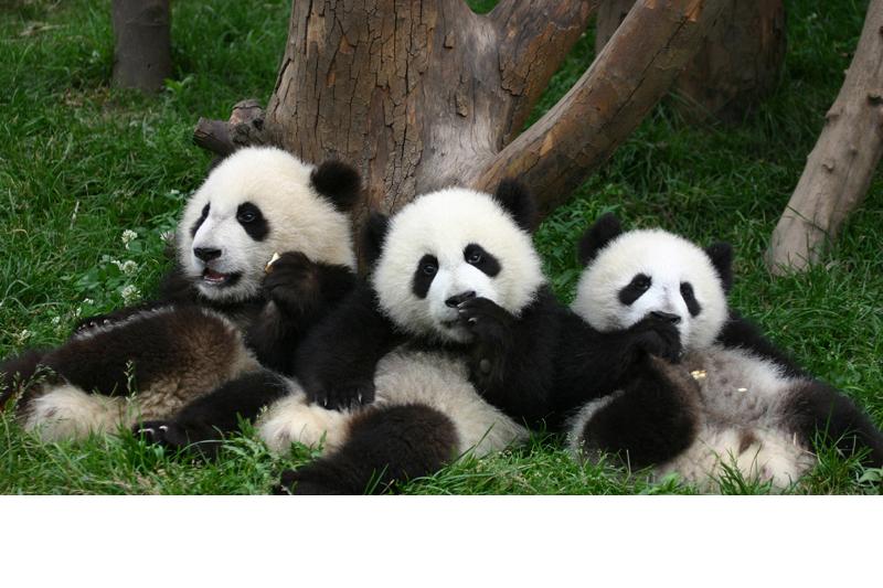 Cute Baby Panda Pics: Pondering Panda: Cute Panda Pictures