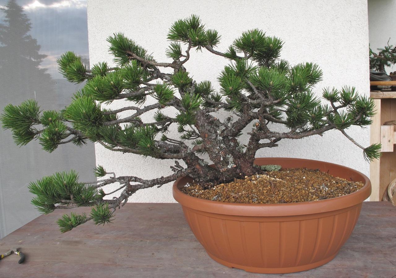 Bonsai Und Beistellpflanzen Kleine Borkige Mugo Erstgestaltung