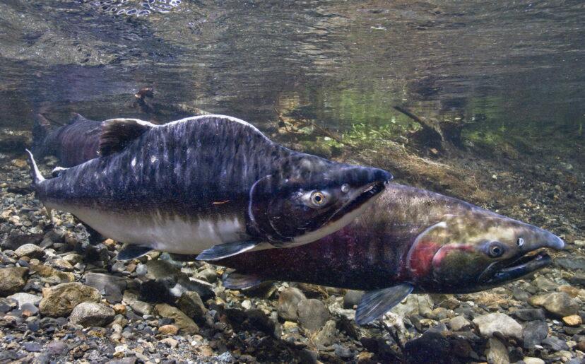Ilmuwan Akhirnya Menemukan Alasan Kematian Salmon Misterius Di Pantai Barat