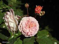Leander English rose - Christchurch Botanic Gardens, New Zealand