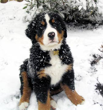 Bernese Mountain Dog Puppy Snow Video