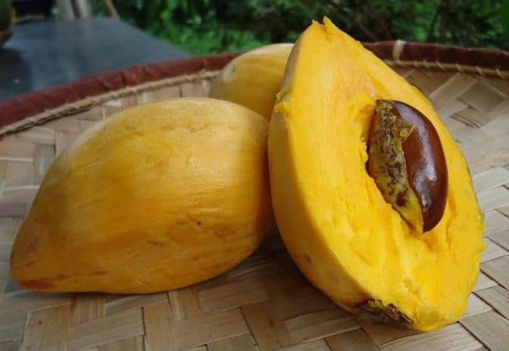 bibit sawo mentega alkesah bibit buah tanaman Kalimantan Timur